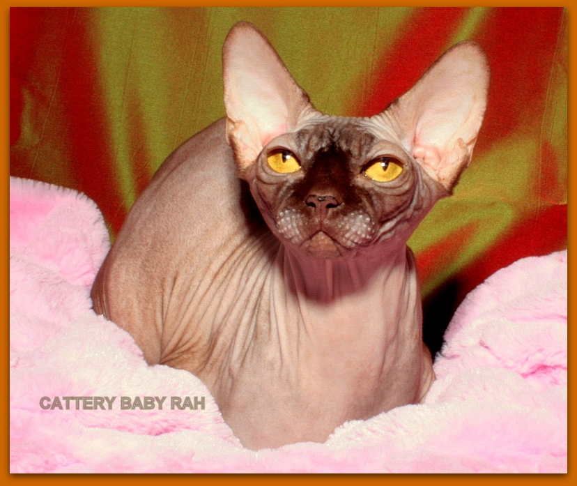 sphynx female chocolate color cattery baby rah for sale