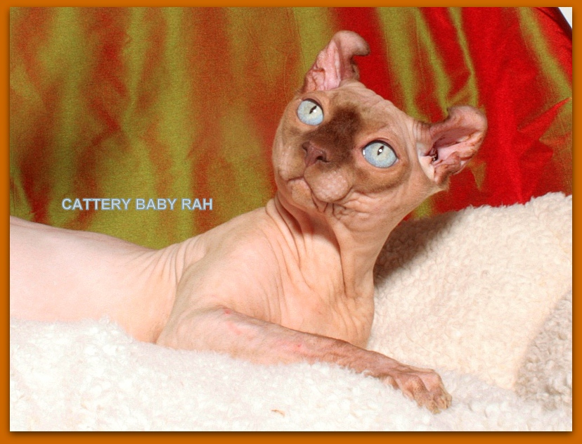 elf male cattery baby rah