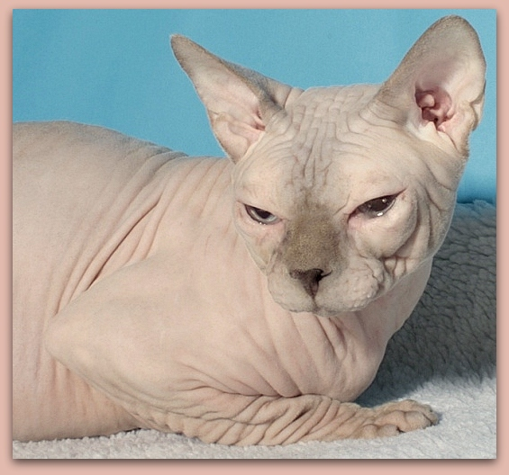 sphynx cat baby rah cattery lilac point