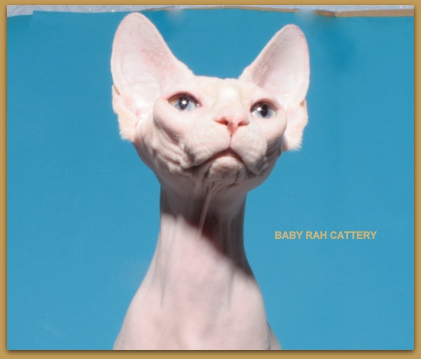 sphynx female baby rah cattery odd eyes