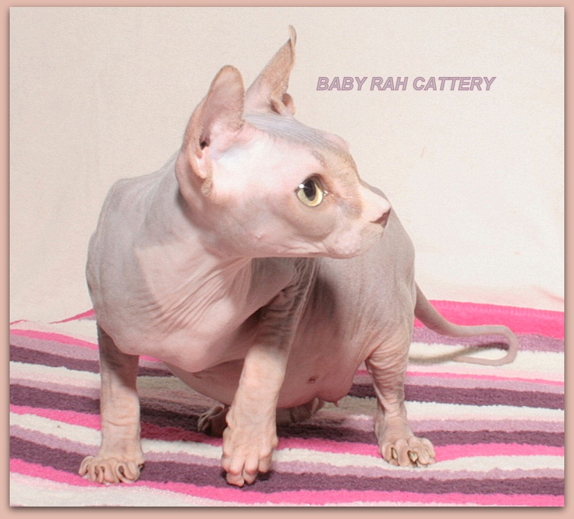 elf female baby rah cattery lilac