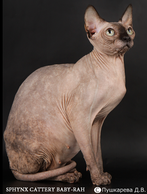 sphynx female Baby-Rah