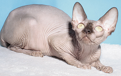 sphynx female chocolate cattery baby rah for sale