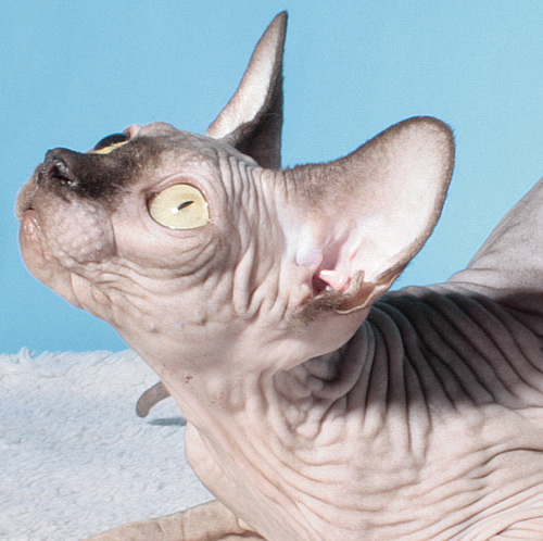 sphynx female chocolate for sale cattery baby rah