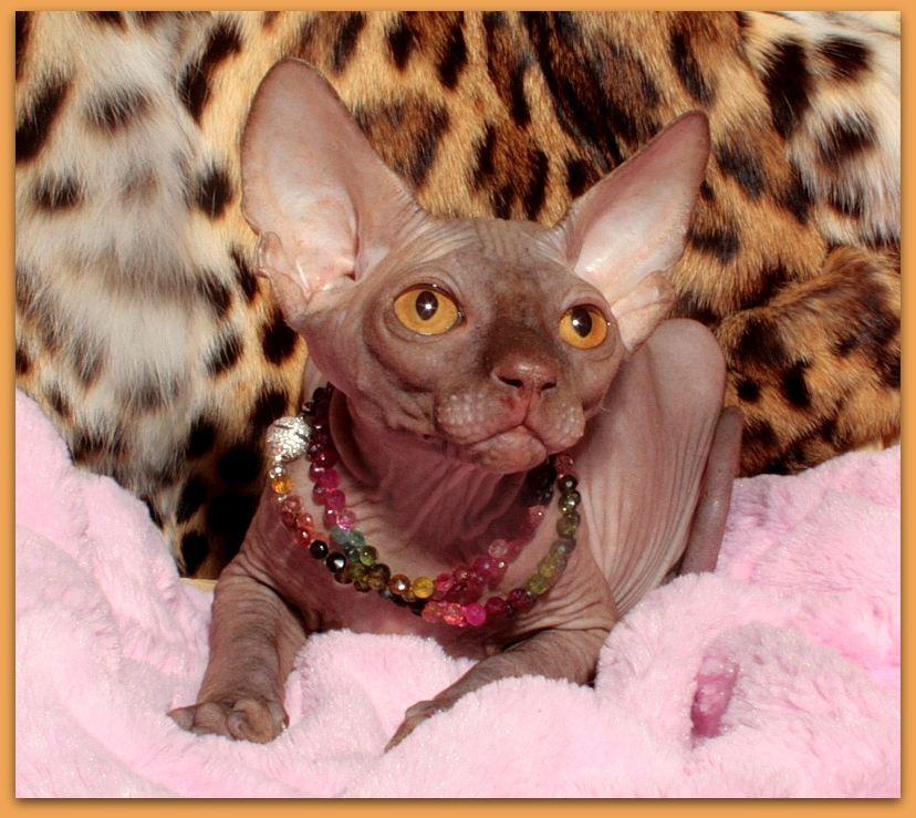 sphynx cat chocolate color cattery baby rah