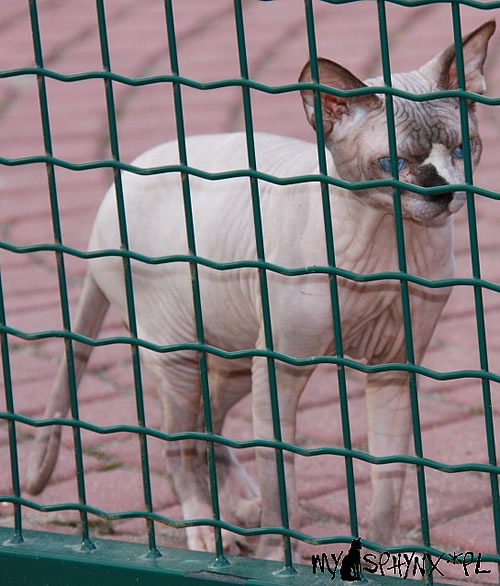 sphynx cat baby rah cattery