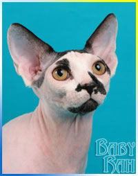 male sphynx cat Priam of Baby-Rah