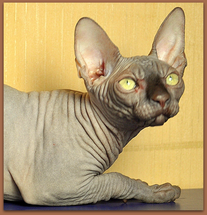 sphynx kitten baby rah cattery chocolate color