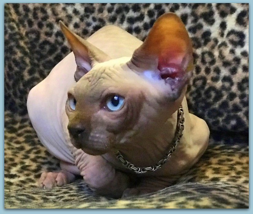 sphynx kitten baby rah cattery for sale chocolate