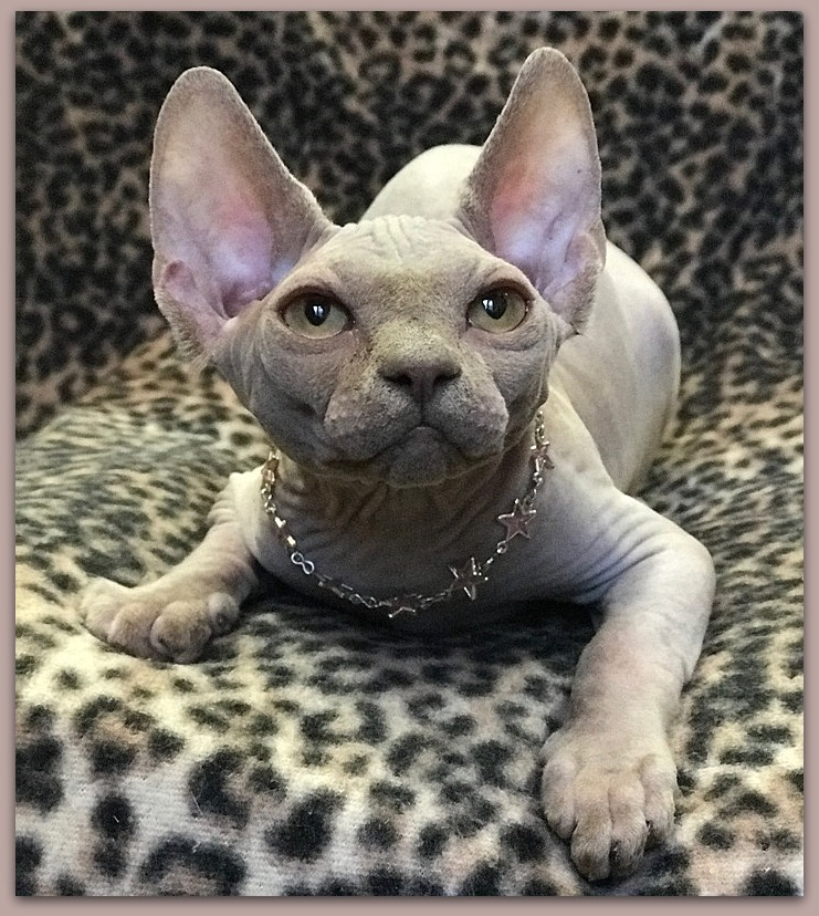 sphynx kitten baby rah cattery lilac solid