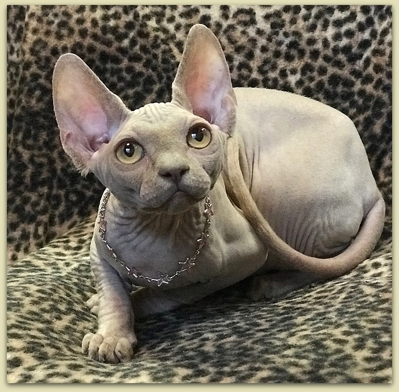 sphynx kitten baby rah cattery lilac color