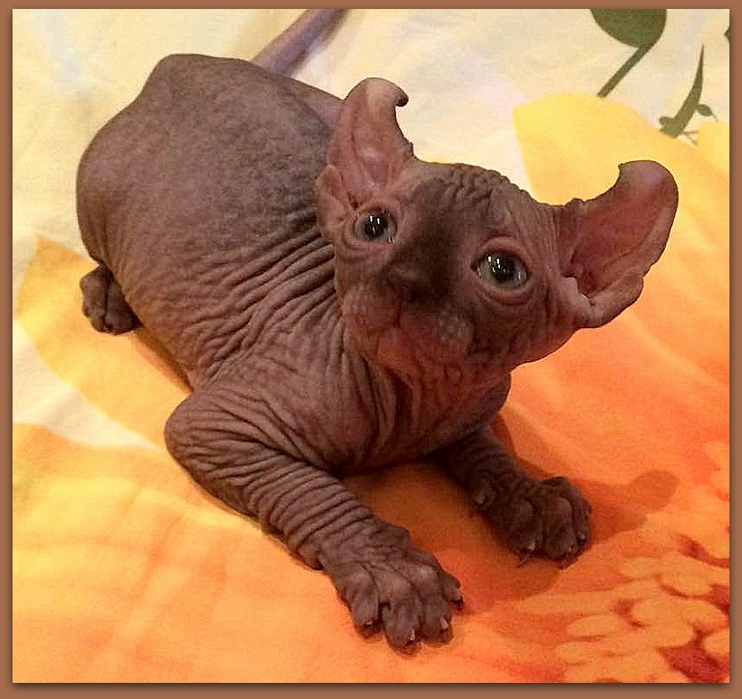 elf kitten baby rah cattery chocolate color