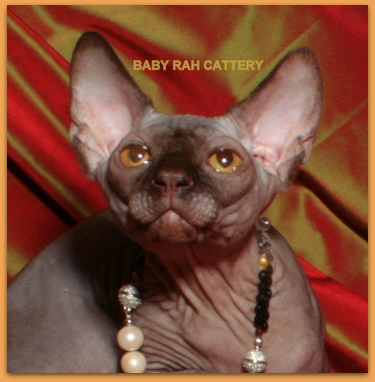 sphynx kiten baby rah cattery chocolate color