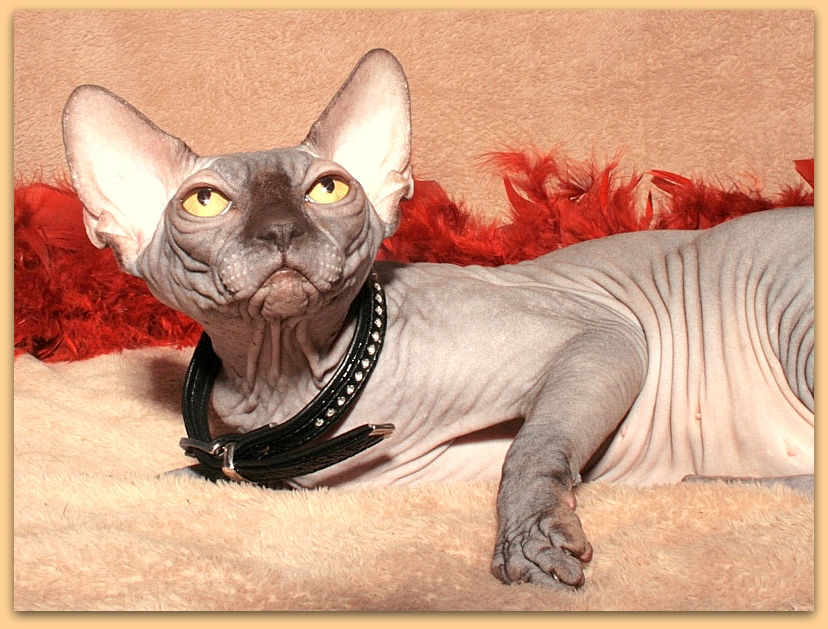sphynx female chocolate cattery baby rah