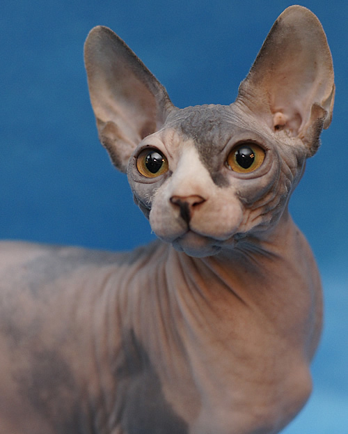 sphynx kitten for sale baby rah cattery