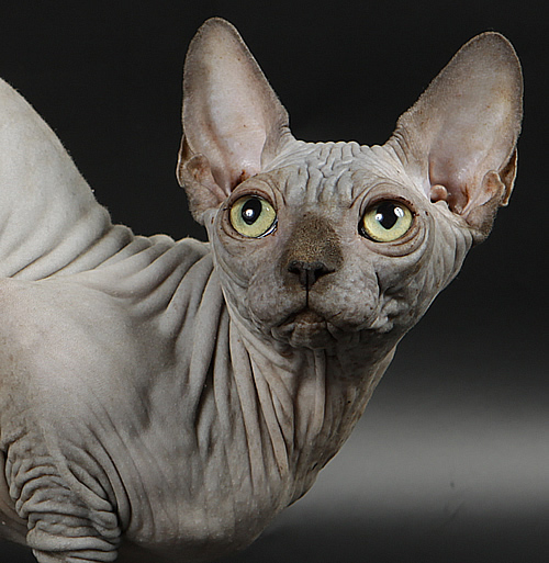 sphynx female baby rah
