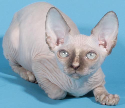 sphynx kitten baby rah cattery chocolate