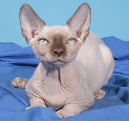 sphynx female baby rah cattery chocolate mink elf bambino