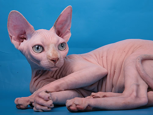 sphynx kitten babyrah cattery for sale