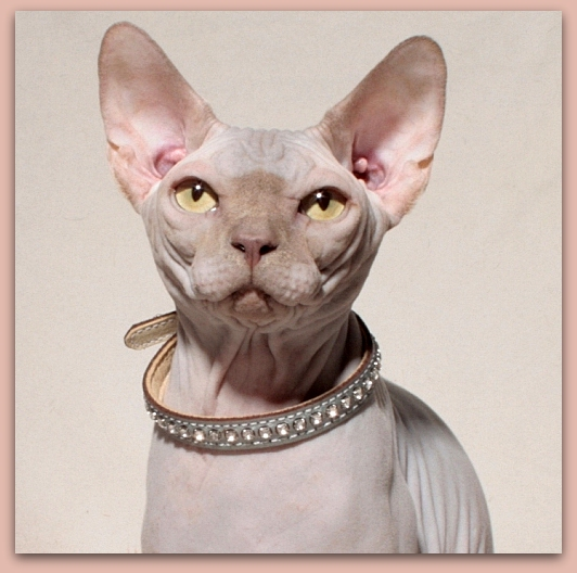 sphynx kitten lilac baby rah cattery