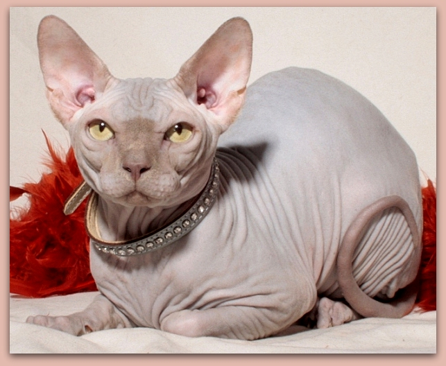 sphynx kitten baby rah cattery lilac