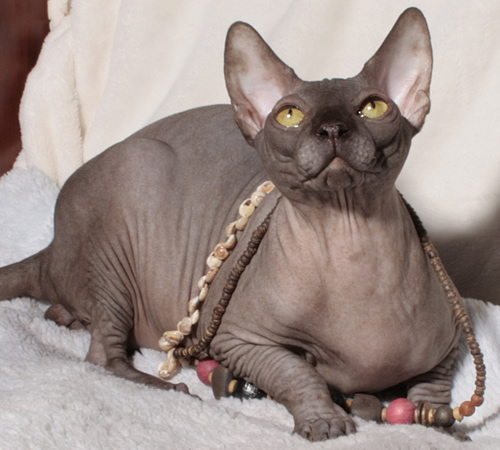 sphynx kitten chocolate baby rah cattery elf bambino