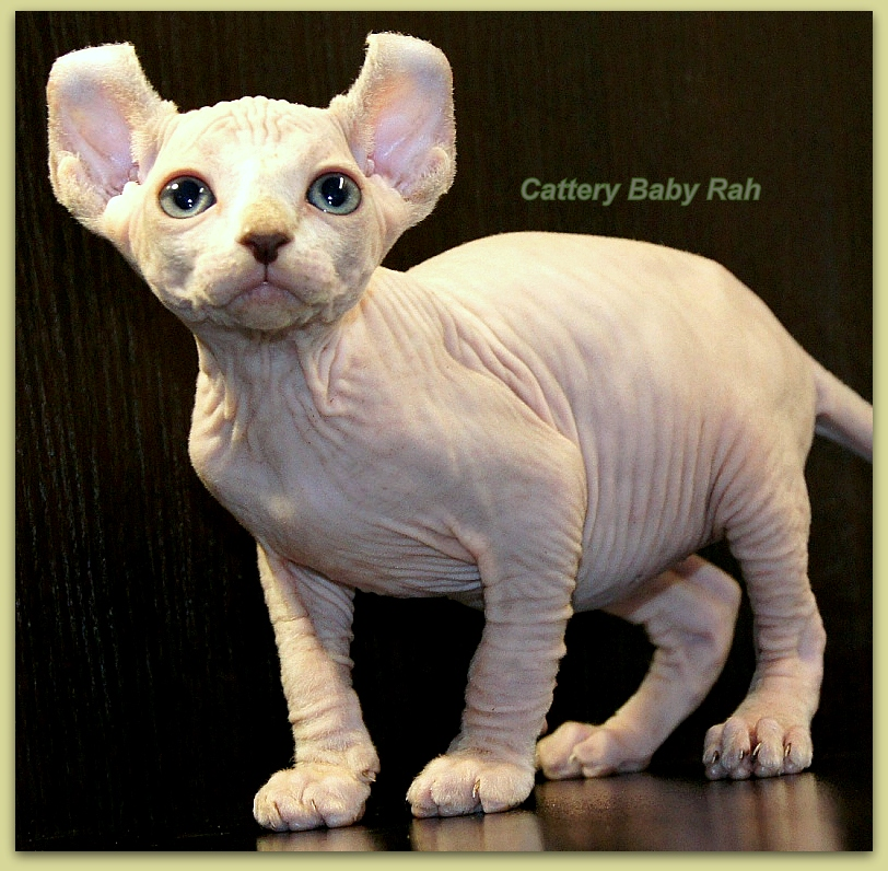 elf female for sale cattery baby rah bambino dwelf sphynx