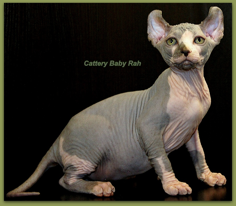 elf male cattery baby rah bambino dwelf sphynx