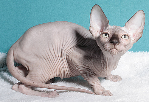 sphynx female baby rah cattery