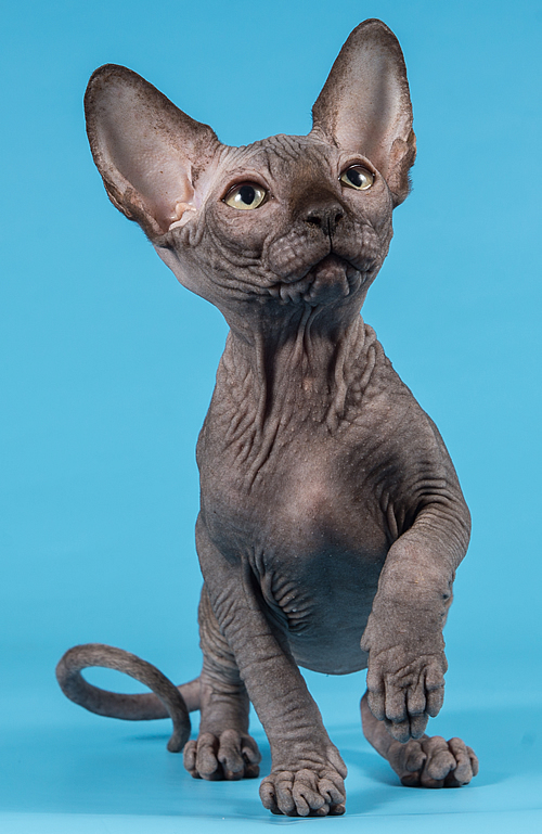 sphynx breeder baby rah cattery kitten for sale