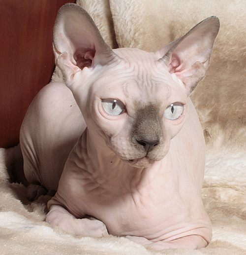 sphynx kittens baby rah cattery for breeding