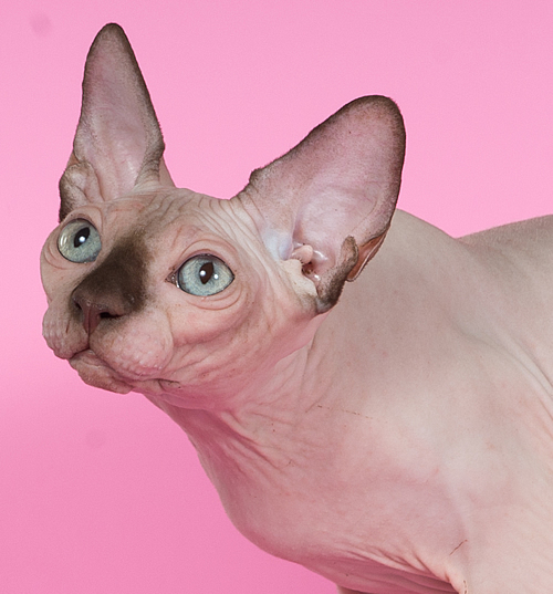 sphynx kitten baby rah cattery for sale chocolate mink