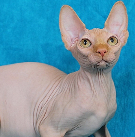 sphynx cattery baby-rah kitten for sale